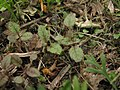 Phacelia campanularia seedlings.jpg