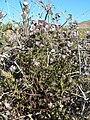Phacelia vallis-mortae 8.jpg