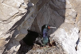 Pelagic cormorant - Adult on a nest in San Luis Obispo, California, United States