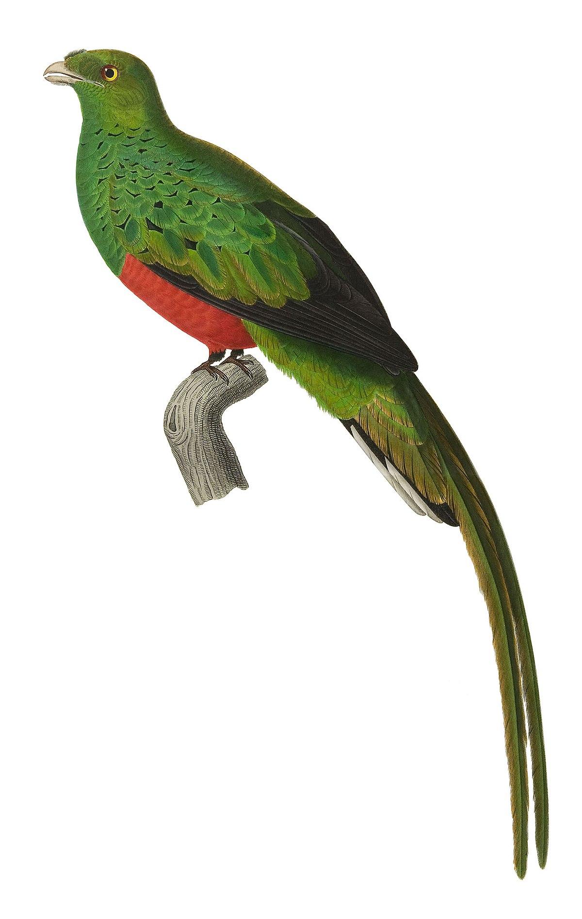 quetzal pavonin wikip u00e9dia parrot clip art black and white parrot clipart images