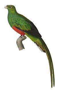Pavonine quetzal species of bird