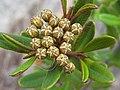 Phebalium Squamulosum buds.jpg