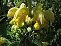 Phlomis russeliana Żeleźniak żółty 2010-06-11 04.jpg