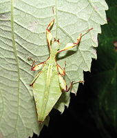 Phasmatodea - Wikipedia