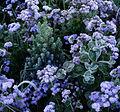 Picea-glauca-'Sanders-Blue'1.jpg