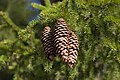 Picea abies cones -- Czechia.jpg