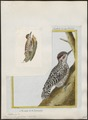 Picus mixtus - 1700-1880 - Print - Iconographia Zoologica - Special Collections University of Amsterdam - UBA01 IZ18700103.tif