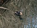 Pied-billed Grebe - Flickr - GregTheBusker.jpg