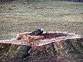 Pileated woodpecker P1300015.jpg