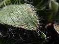 Pilosella officinarum 2021-09-08 1458.jpg