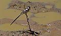 Pin-tailed Whydah (Vidua macroura) (6607079043).jpg