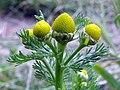 Pineapple mayweed (Matricaria discoidea) (28757464942).jpg