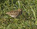 Pintail snipe or Swinhoe's.jpg