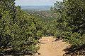Pinus edulis Santa Fe 4.jpg