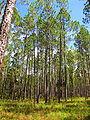 Pinus elliottii forest1.jpg