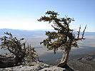 Pinus longaeva Mt Washington.jpg