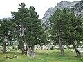 Pinus mugo uncinata trees.jpg