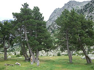 Pinus mugo - Image: Pinus mugo uncinata trees