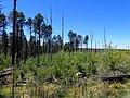 Pinus ponderosa subsp. brachyptera kz09.jpg