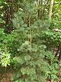 Pinus sylvestris Scots Pine, cultivated, Altamount TN 1.jpg
