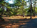 Pinus taeda Cape Henlopen.jpg