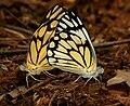 Pioneer or Caper White (Anaphaeis aurota) mating W IMG 9492.jpg