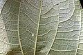 Piper auritum 20zz.jpg