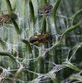 Plagiognathus arbustorum - Flickr - S. Rae (10).jpg