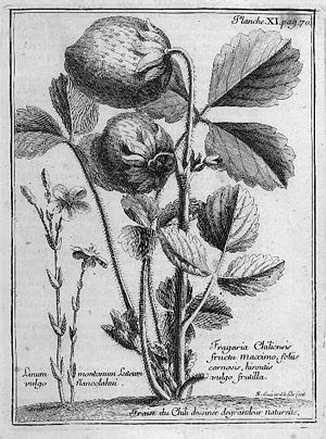 Amédée-François Frézier - Fragaria chiloensis (beach strawberry), illustrated in Frézier's Relation du voyage (…)