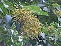 Plant Ehretia acuminata DSCN8670 03.jpg