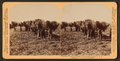Plantation negroes carrying rice in South Carolina, U.S.A, from Robert N. Dennis collection of stereoscopic views.png