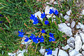 Plants from Vallon peaks Sella 07.jpg