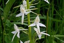 Platanthera bifolia ENBLA01.JPG