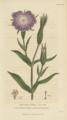 Plate 10 Agrostemma Githago - Conversations on Botany-1st edition.tiff