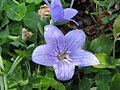 Platycodon grandiflorus Fuji Blue 0zz.jpg