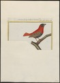 Ploceus franciscanus - 1700-1880 - Print - Iconographia Zoologica - Special Collections University of Amsterdam - UBA01 IZ15900089.tif