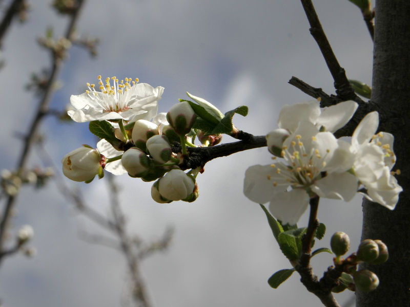 File:Plum blossoming.jpg