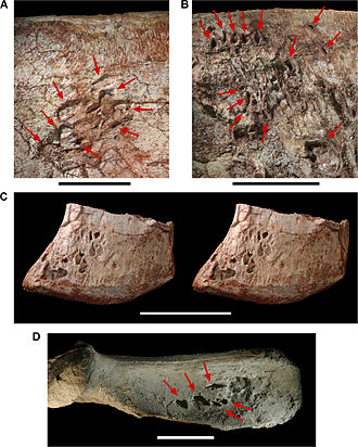 Dinosaur - Pneumatopores on the left ilium of Aerosteon riocoloradensis