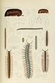 Pocock 1894 plate XX.png