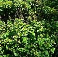 Podanthus ovatifolius 1.jpg