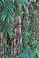 PohonBambu.jpg