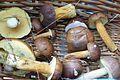 Polish mushrooms (grzybobranie) Puszcza Notecka (2).JPG