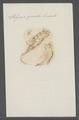 Polycera quadrilineata - - Print - Iconographia Zoologica - Special Collections University of Amsterdam - UBAINV0274 080 18 0005.tif