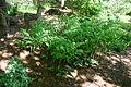 Polygonatum odoratum variegatum 001.JPG