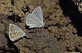 Polyommatus theresiae (Male) -Saimbeyli Mavisi.jpg