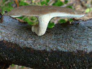 Polyporus brumalis - Polyporus brumalis