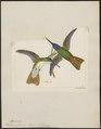 Polytmus franciae - 1820-1860 - Print - Iconographia Zoologica - Special Collections University of Amsterdam - UBA01 IZ19100223.tif