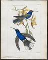 Polytmus hemileucurus - 1820-1860 - Print - Iconographia Zoologica - Special Collections University of Amsterdam - UBA01 IZ19100021.tif