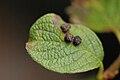 Pontania.gallarum5.-.lindsey.jpg