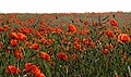 Poppies Growing on the Marne Battlefield near Villeroy and Chauconin France - panoramio.jpg